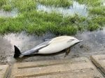 Distressing Pictures Show A Dead Dolphin Found Washed Up On The Side Of A River