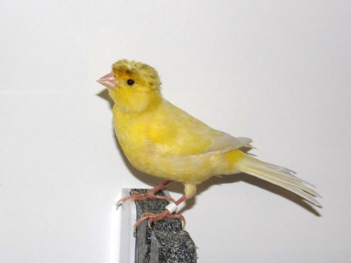 Canary Found With The Same Bouffant Hairstyle As Boris Johnson