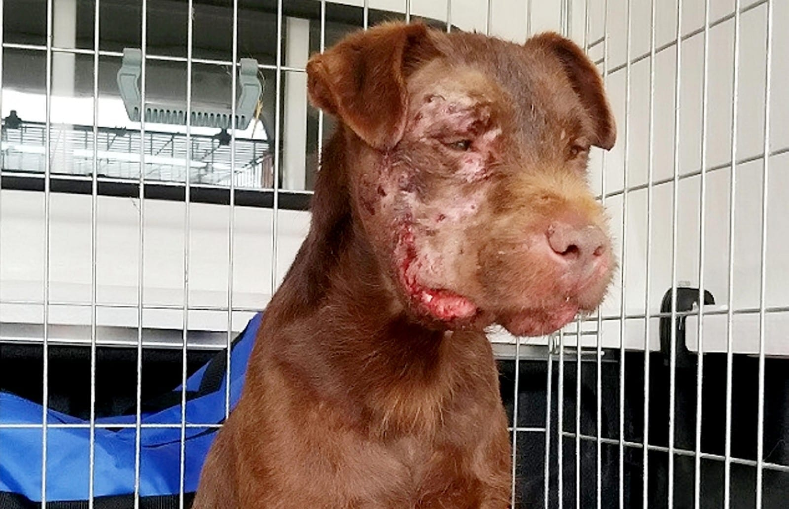 Graphic Photos – Terrier Type Dog Suffered Horrific Facial Injuries After Being Forced To Fight A Badger By Its Owners