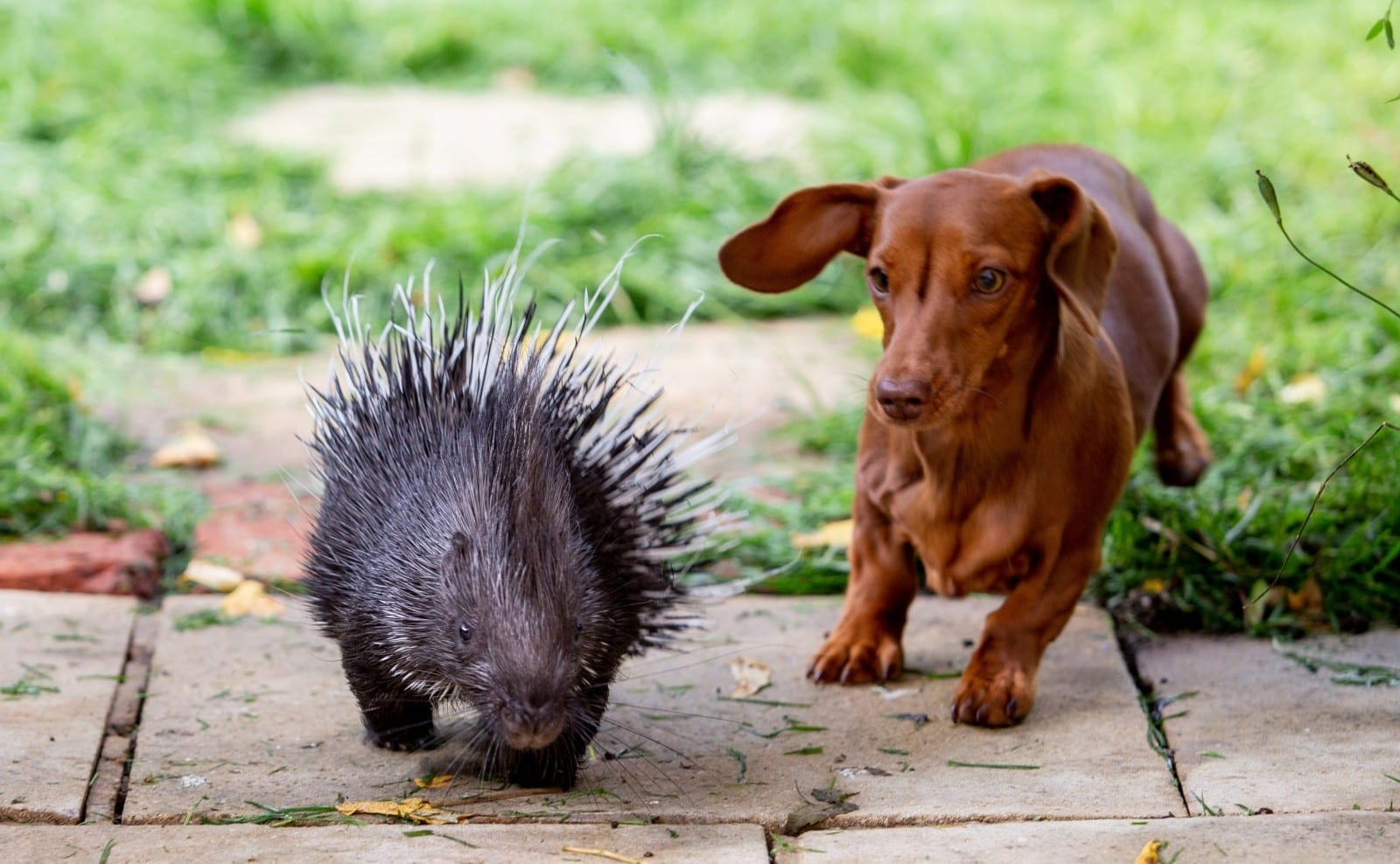 Diablo The Baby Porcupine And Fig The Sausage Dog Are The Best Of Friends