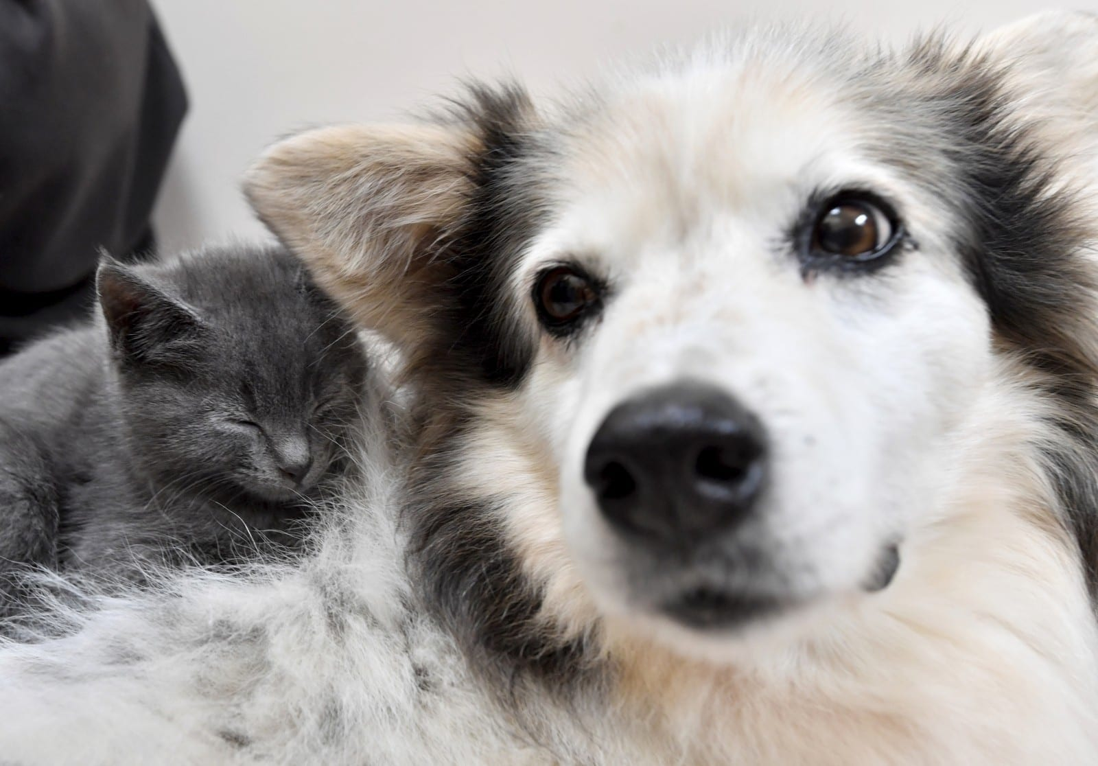 14-Year-Old Border Collie Has Become A Surrogate Mum - To A Litter Of Rescued KITTENS
