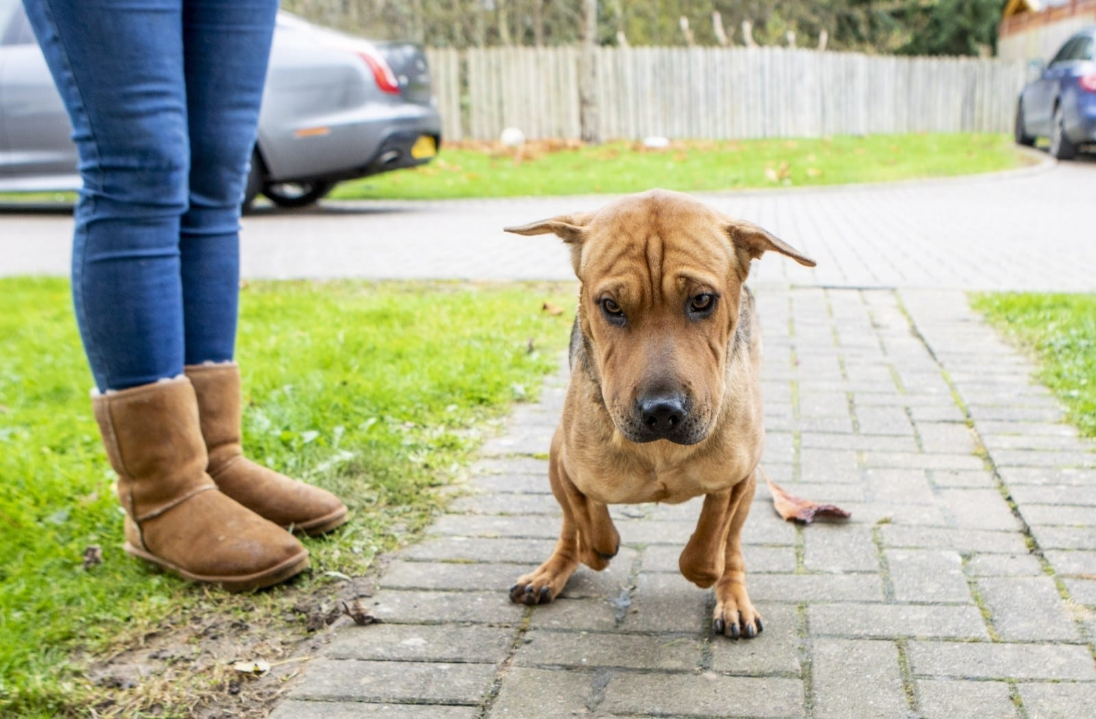 Shar Pei Puppy Who Had Her Front Paws CHOPPED OFF By Cruel Thugs In Romania Is Enjoying A New Life In Britain