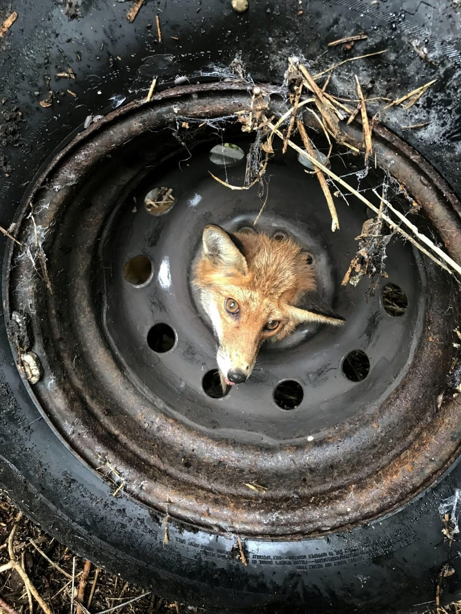 RSPCA Rescue Team Helped Free Fox That Had Got Its Head Stuck - In A TYRE
