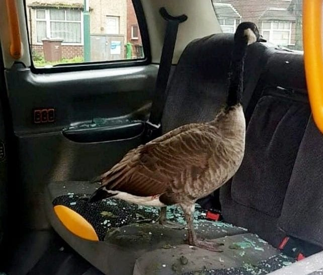 Cops Investigating A Smashed Taxi Window Were Stunned When They Discovered The Culprit Was A GOOSE Sitting On The Back Seat