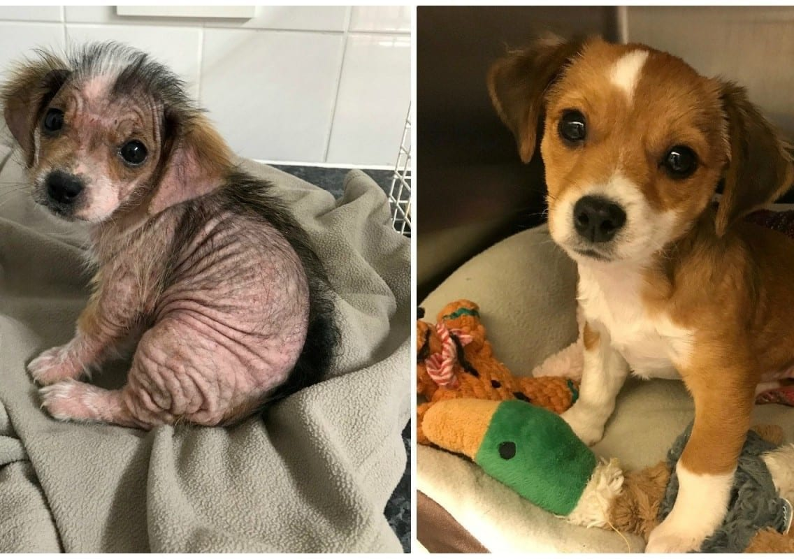 A Puppy That Lost All Her Fur Due To Mange Looks Unrecognisable After She Was Nursed Back To Health