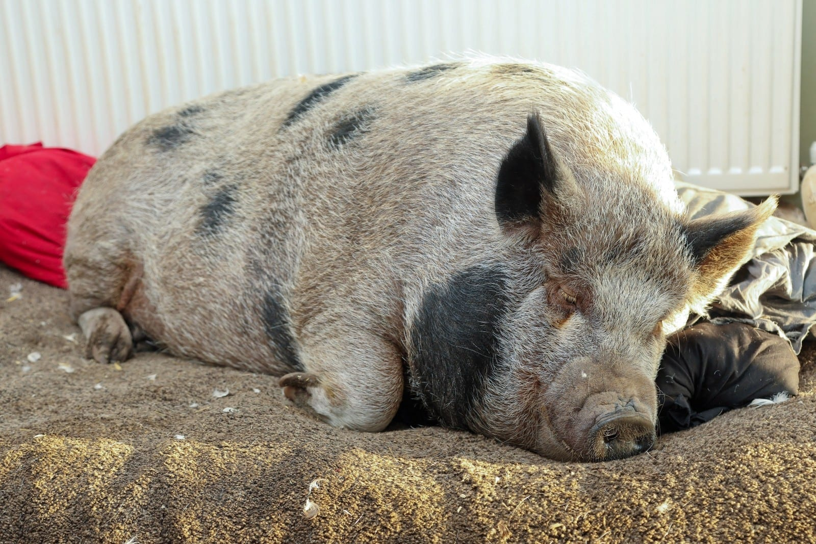 Couple Have Their Home Taken Over By 28 STONE Pig — Which They Adopted Because They Thought It Was A Micro-Animal
