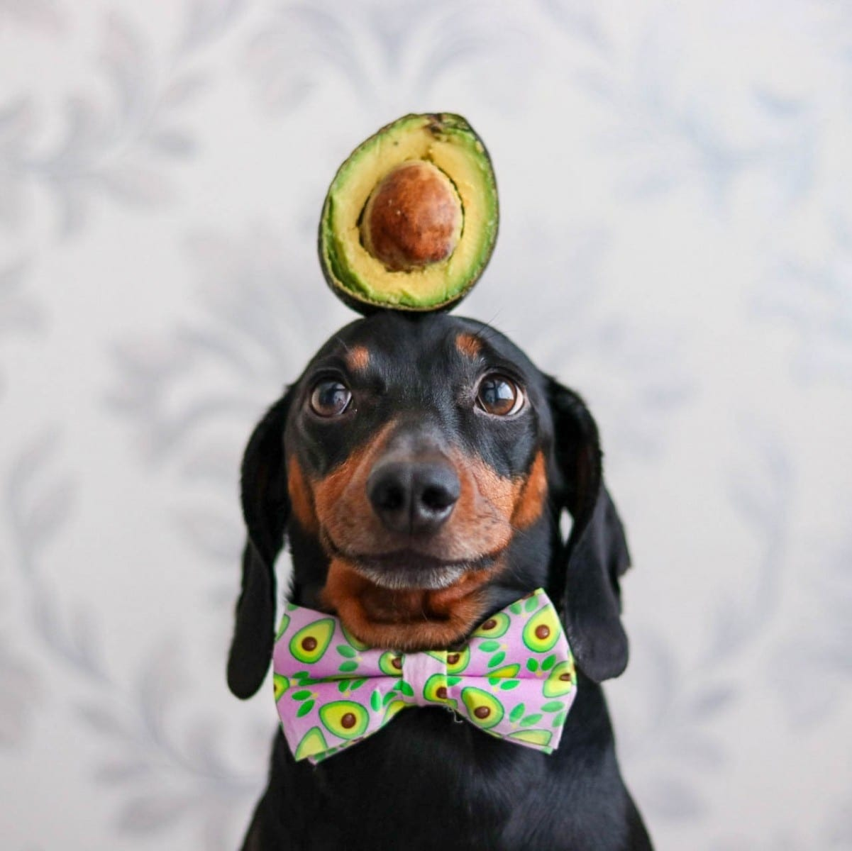 Harlso The Amazing Sausage Dog Attracts Huge Instagram Following By Balancing Everyday Items On His Head