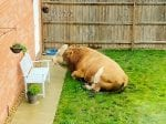 Couple Woke Up To Find A BULL Had Wandered Into Their Garden – Ramming Their Bin & Pooing On The Patio Before Laying Down For A Snooze