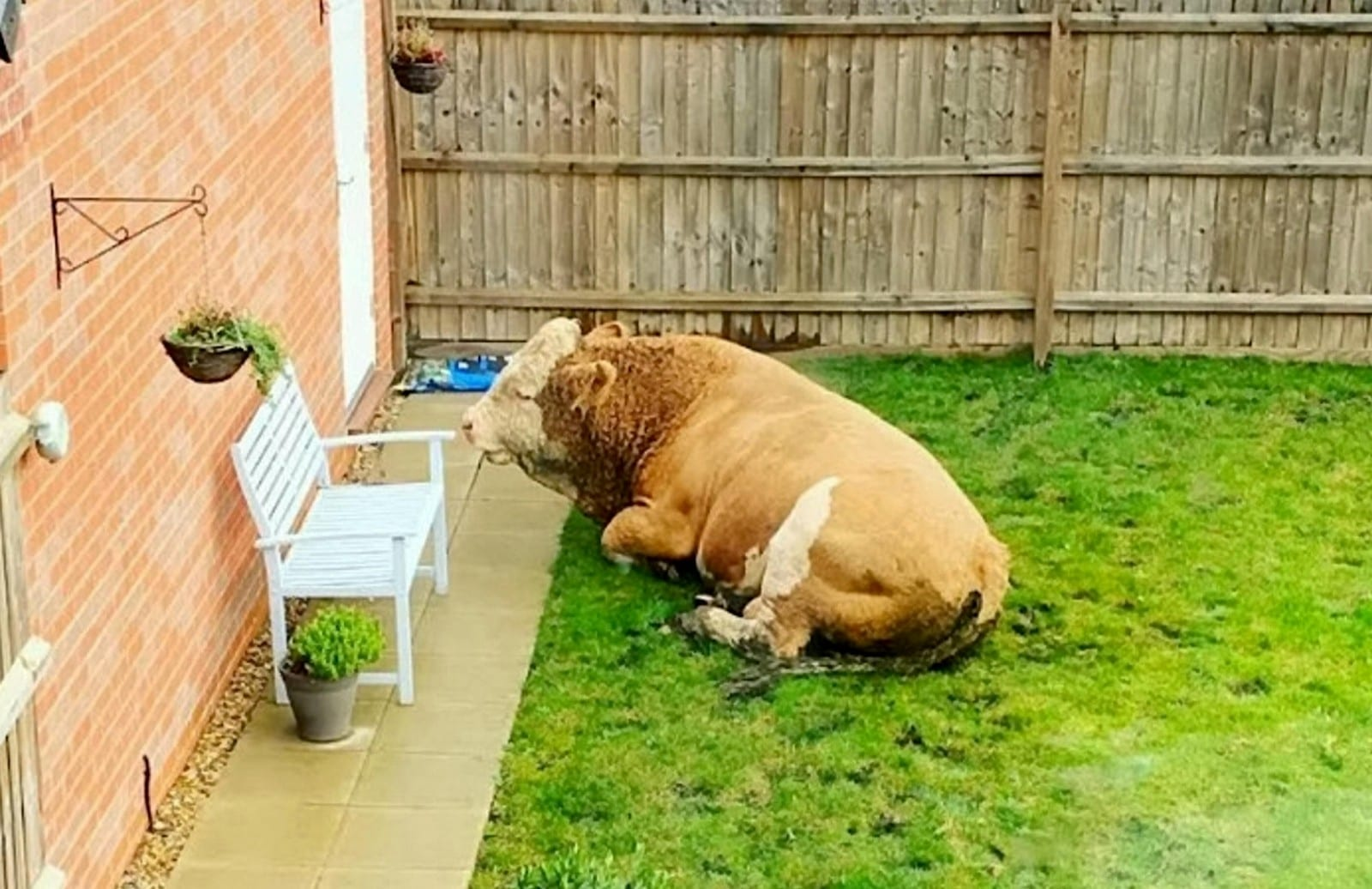 Couple Woke Up To Find A BULL Had Wandered Into Their Garden - Ramming Their Bin & Pooing On The Patio Before Laying Down For A Snooze