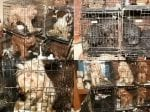 A Woman Has Been Banned From Keeping Animals For Life After A Raid On Her Home Found 54 Dogs Stacked In Small Filthy Cages