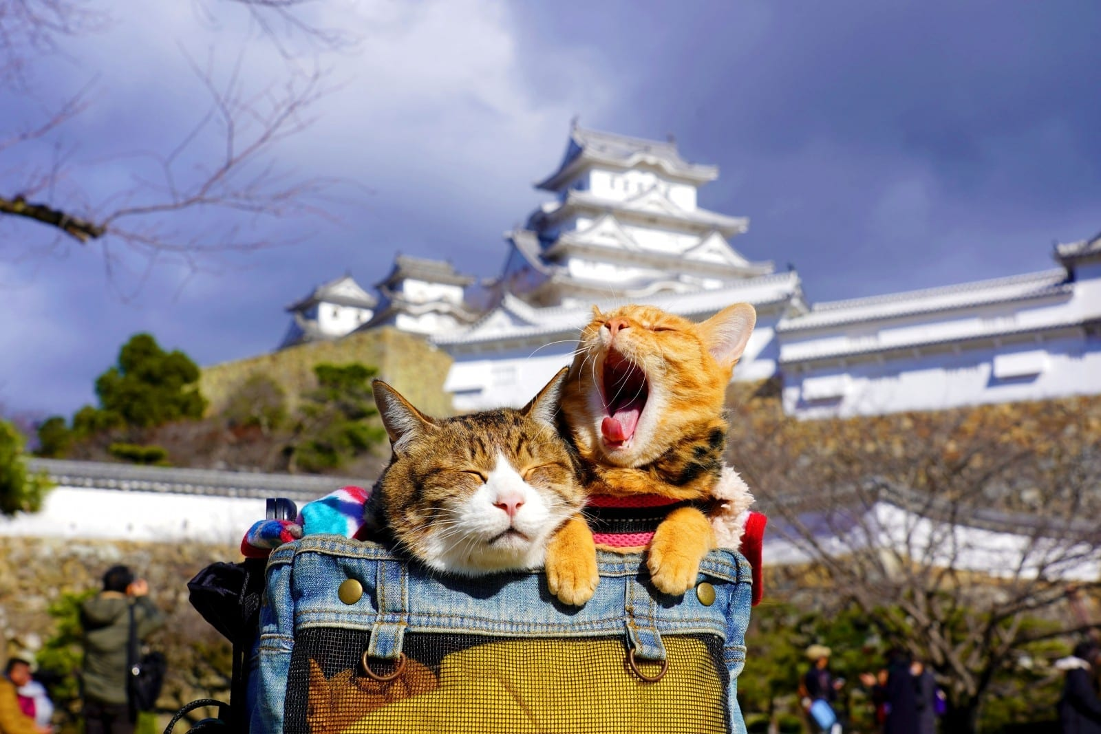 Meet The Real Hello Kittys! - Rescue Kittens That Travel Japan With Their Owner