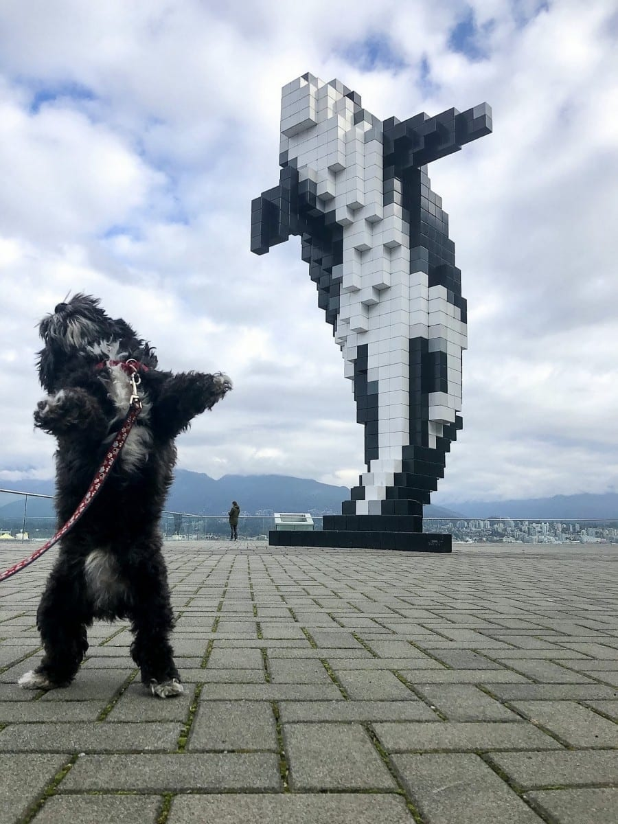 Picture Perfect Moment: Tiny Dog Got On His Back Legs And Struck A Killer Pose - Just Like The Killer Whale Statue Behind Him