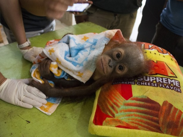 Orphaned baby orangutan is saved after a BULLET was found lodged in his shoulder