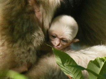 Paignton Zoo achieves breeding success - with rare baby gibbon