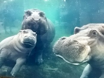Adorable Moment Baby Hippo Plays With Parents For The First Time