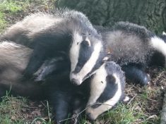 "Cull Marksmen Left Bloodied Corpses Of Badgers On Footpath For 12 Hours…Putting ""Dogs At Risk Of TB"""