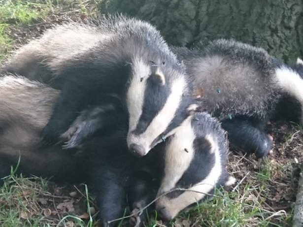 """Cull Marksmen Left Bloodied Corpses Of Badgers On Footpath For 12 Hours…Putting """"Dogs At Risk Of TB"""""""