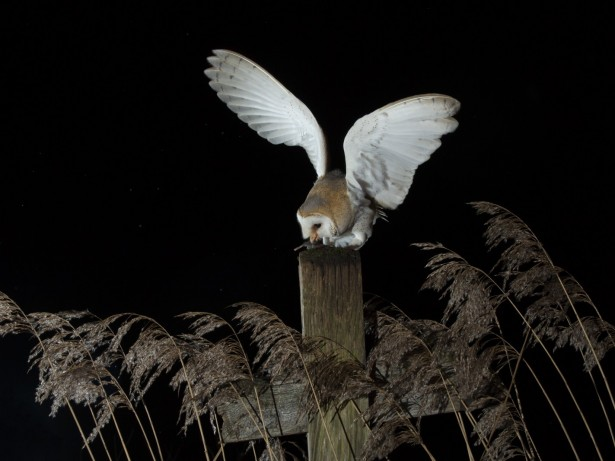 Amateur Photographer Captures Stunning Shots Of A Barn Owl In Norfolk