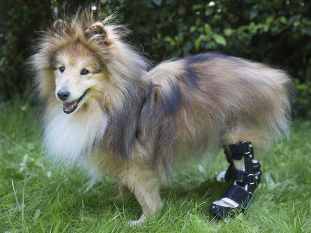 Dogs life has transformed after being fitted with bionic legs