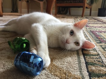 Help Find Cotton A New Home! - Rescue Cat Finally Opens His Eyes To Reveal Dazzling Two-Toned Eyes Just Like David Bowie