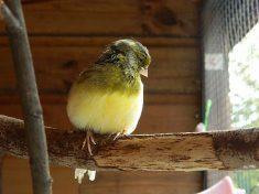 Woman Mystified After A Stranger Dumped A Caged CANARY On Her Doorstep