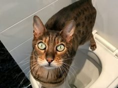 This Cat Is So Clever It Uses Human Lavatory For It's Business