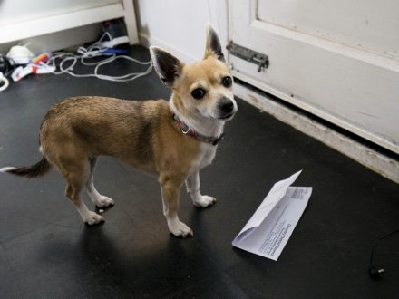 Postie Refuses To Deliver To Family Home After Being Chased By Chihuahua Called Tiny