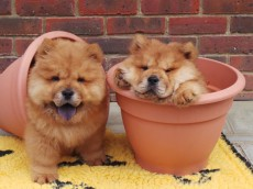 Rare lion-like chow chow puppies looking for home after illegal importation