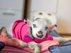 WATCH: Adorable Disabled Lamb Take Her First Steps With Special Stroller
