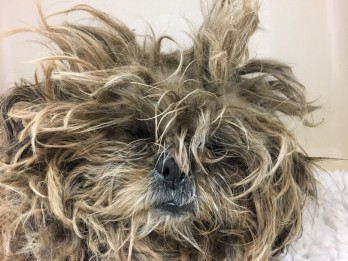 Severely Neglected Shih Tzu In Such A State Her Matted Fur Resembled A MOP