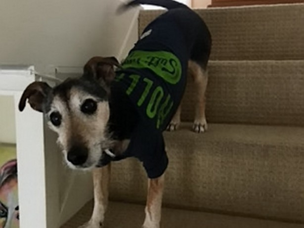 Jack Russell on the mend after slow cooker full of scalding casserole falls on his back