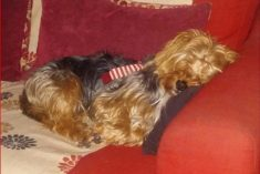 Eight Police Officers Swoop On Pensioner's House To Seize 'Dangerous' Yorkshire' Terrier