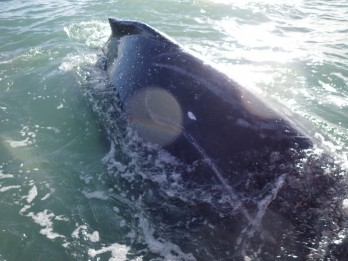Nine Rescuers Had To Play 'Tug Of War' With 20 Ton Whale To Free It From Whelk Pots
