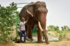WATCH – Awesome Video Of 70-Year-Old Elephant Taking First Ever Steps Without Chains After Being Rescued