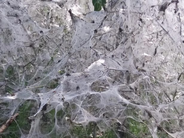Residents Baffled By 20ft Web Created By Army Of Caterpillars