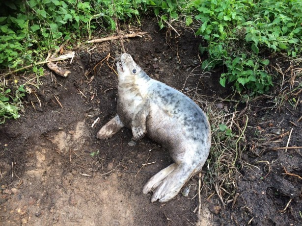 Seal pup rescued after being found stuck on golf course