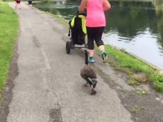 Hilarious Video Shows A Goose Going For A Jog Alongside Members Of A Local Running Club