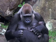 These Adorable Photos Show Proud Mother Gorilla Gently Cradling Her Precious Newborn Baby