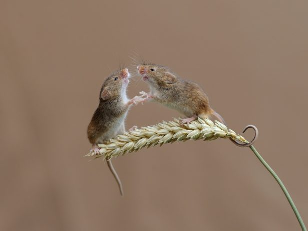 Adorable Harvest Mice Strike A Pose Running Up Shoots Of Straw