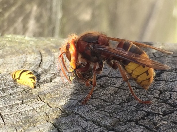 Amazing photo shows rare Asian Hornet eating a WASP