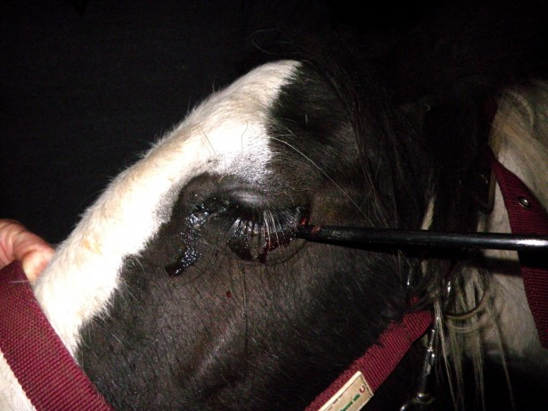 Sick yobs on the run from police after shooting horse in the eye with long bow