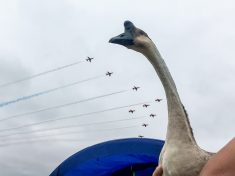 Grounded Pet Goose Gets Flying Lessons From The Experts By Regularly Visiting RAF Air Shows