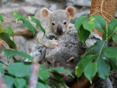KOALA-TY-TIME! Little Koala Joey Cuddles Mum For First Time After Emerging From The Pouch