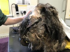 Abandoned Dog Whose Fur Was So Matted His Leg Became Stuck To His EAR Is Finally On The Mend