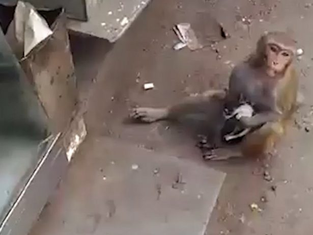 This Abandoned Kitten Has A New Mother - A Doting Macaque Monkey!
