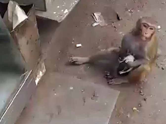This Abandoned Kitten Has A New Mother – A Doting Macaque Monkey!