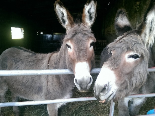 Get your ass out of here! Mysterious donkeys found masquerading as cows in farmer's field
