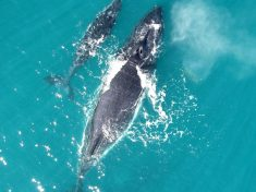 'Whispering' Keeps Humpbacks Safe From Killer Whales