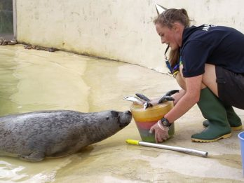 Europe's Oldest Common Seal Called 'Babyface' Celebrates 39th Birthday - With A Fish Cake