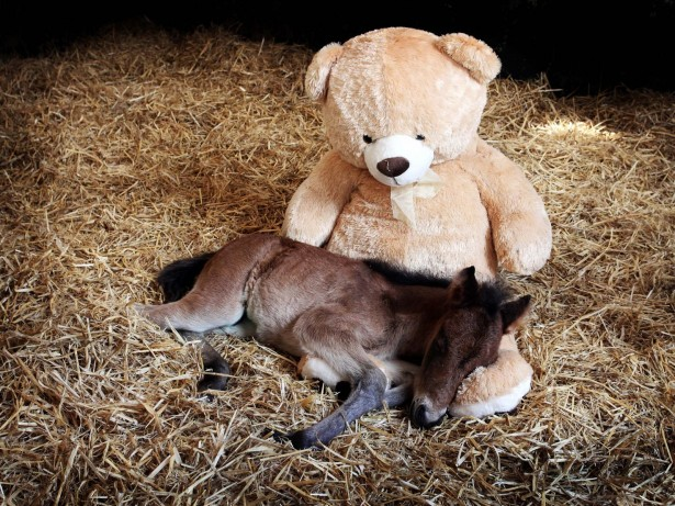 Orphaned foal who took internet by storm due to his teddy bear still sleeps with it three years later